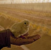 pollos. A Photograph project by Escultura  - 08-04-2011